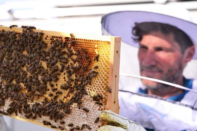 Imker kontrolliert die Bienenwaben