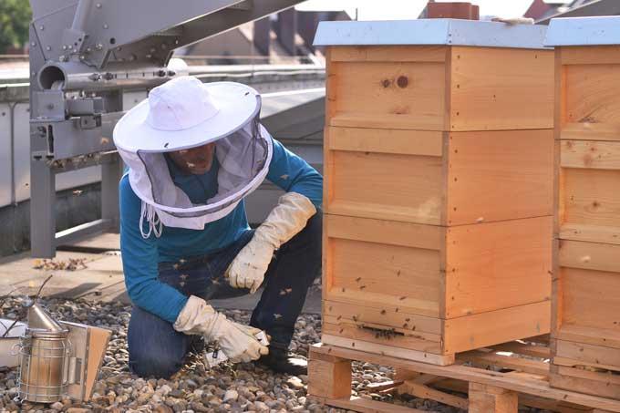 Imker kontrolliert die Bienenstöcke auf dem Dach des Neuen Museums
